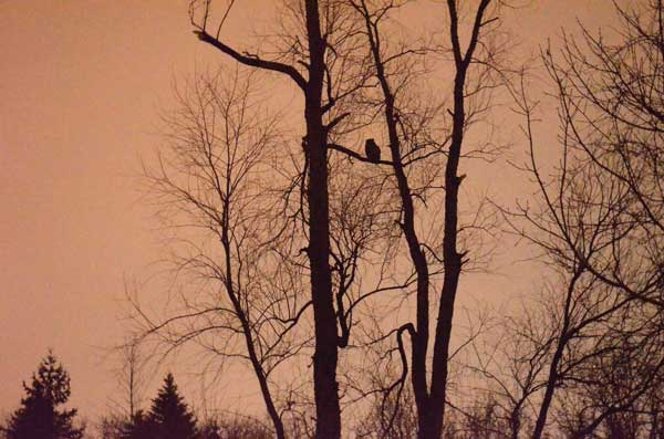 Prowling for four owl species in Arboretum